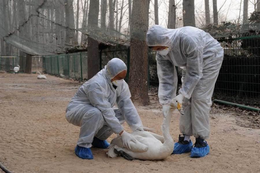 武漢肺炎疫情未歇中國又爆 H5N1 禽流感,撲殺上萬家禽。(圖/ 新華社)