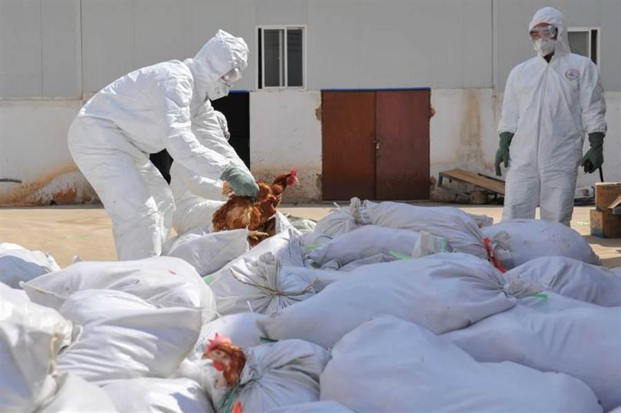 10天內兩起家禽患禽流感!對市場、個人影響重大?(圖/ 新華社)
