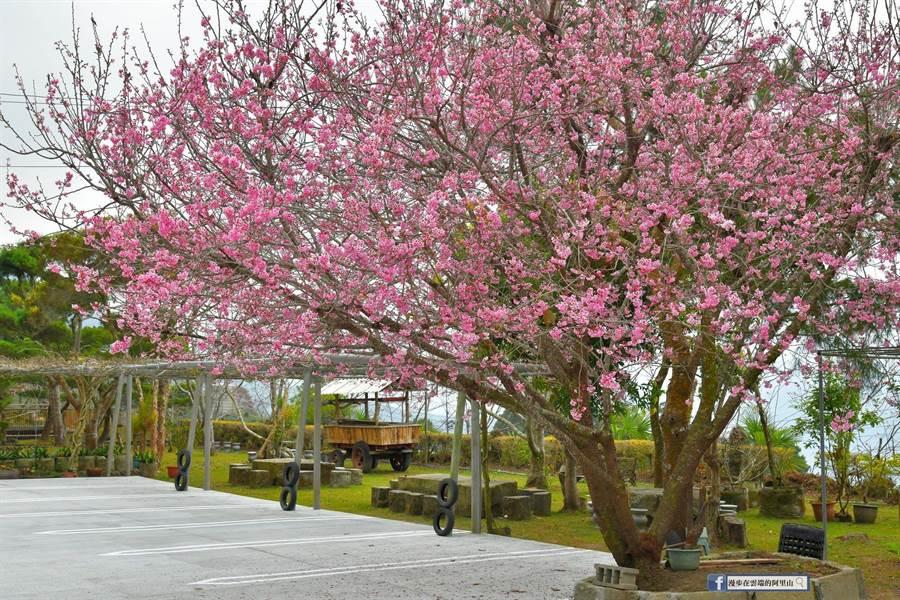 阿里山國家風景區石棹地區椿寒櫻在2月上中旬盛開。(黃源明提供/張毓翎嘉義傳真)