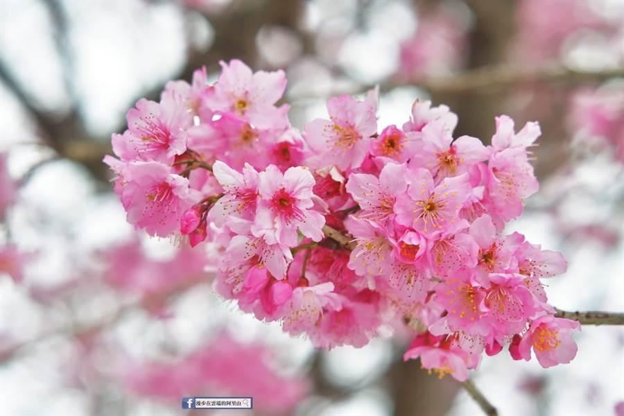 阿里山國家風景區內頂石棹椿寒櫻。(黃源明提供/張毓翎嘉義傳真)