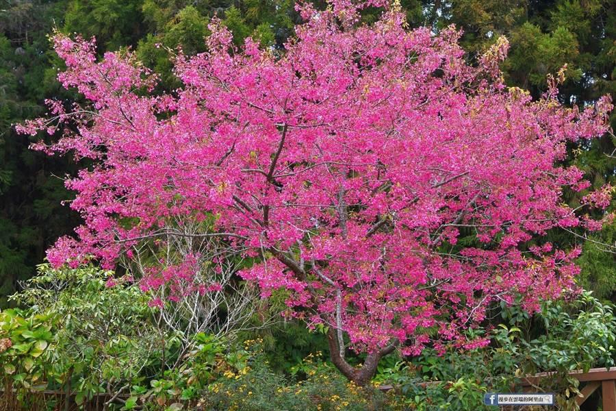 阿里山國家森林遊樂區內阿里山旅社區山櫻花。(黃源明提供/張毓翎嘉義傳真)