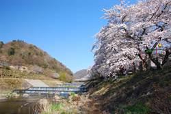 春遊神奈川縣賞花趣!粉紅櫻花隧道如畫 夜櫻也夢幻
