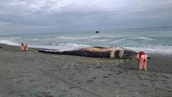 地球最大動物藍鯨死在台東沙灘 專家解密