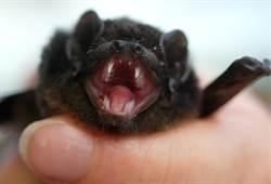新冠肺炎沒在怕 這裡還在吃蝙蝠