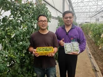 南科工程師為健康從農 溫室綠番茄喜收成