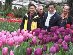 杉林溪鬱金香盛開到3月,櫻花、牡丹接力登場