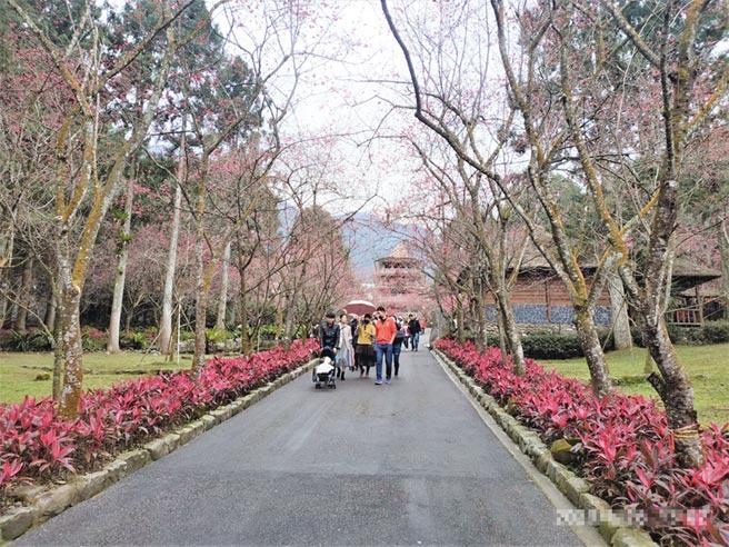 九族文化村園區內種有5,000株櫻花,最大宗的是九族百重櫻,約占全部的七成。圖/杜淑諭提供