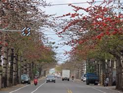 台南將軍木棉花當路樹 7條花道南市最多