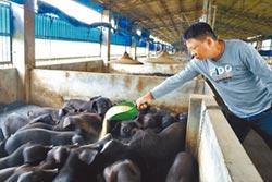疫外狀況 3萬頭母豬枉遭淘汰