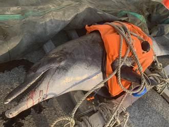 擱淺台中大安海堤 阿嬤級鯨豚傷痕累累死亡