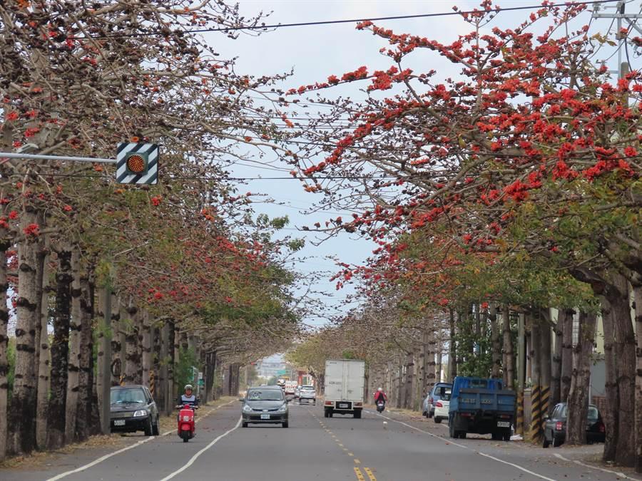 將軍區有台南市最多、最長的木棉花道,目前有少數花兒綻放,最快2月底將可看見盛開景象。(莊曜聰攝)