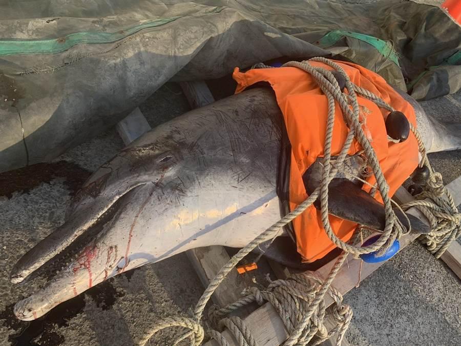 年邁雌性瓶鼻海豚擱淺大安海堤死亡,身上佈有明顯傷痕。(海巡署中部分署第三岸巡隊提供/陳淑娥台中傳真)