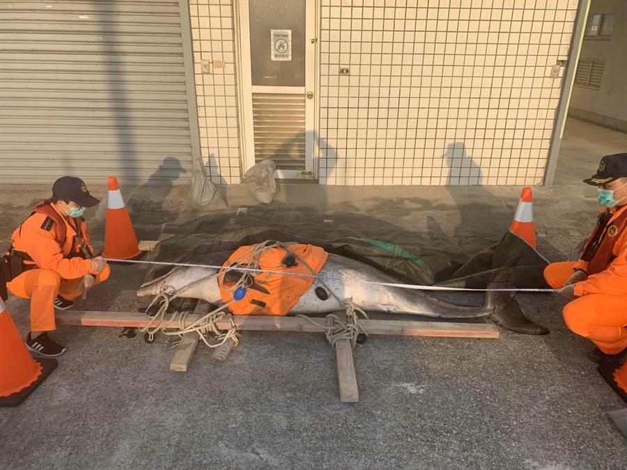 年邁雌性瓶鼻海豚擱淺死亡,海巡人員將安置在安檢所。(海巡署中部分署第三岸巡隊提供/陳淑娥台中傳真)
