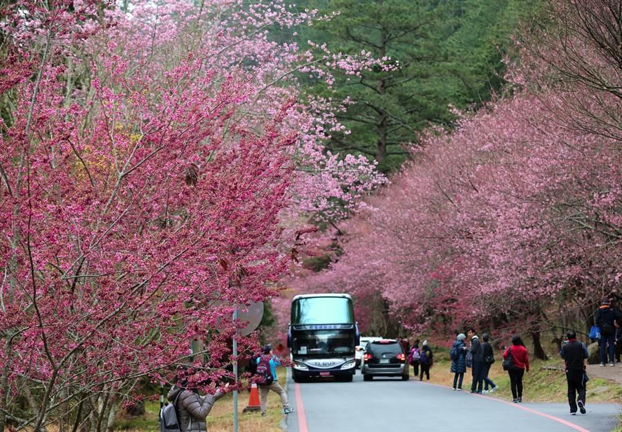 往年武陵賞櫻專車一票難求,今年平、假日都坐不滿。(武陵農場提供/王文吉台中傳真)