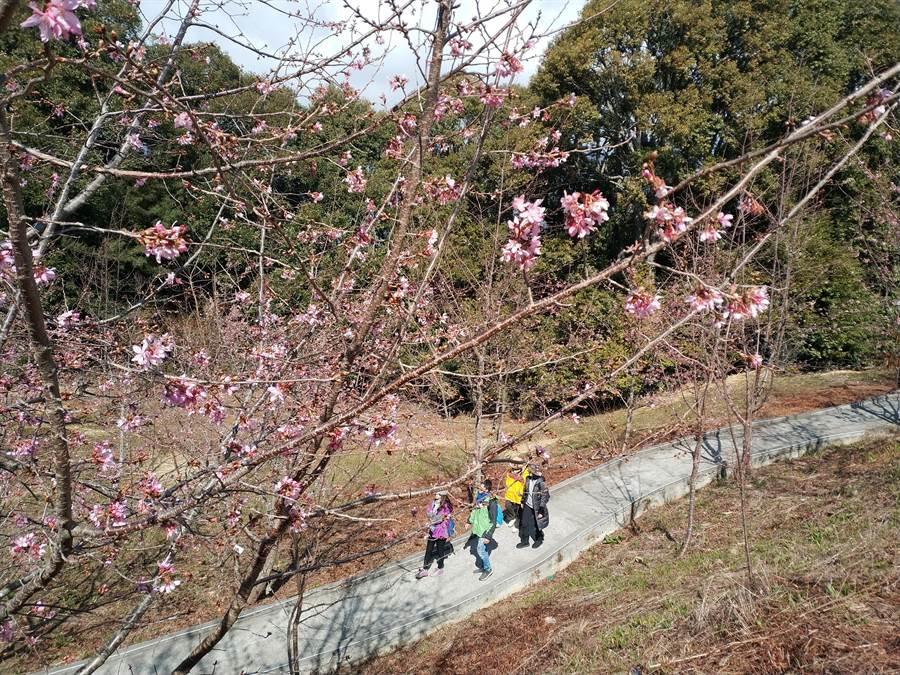 福壽山農場千櫻園的昭和櫻開2成,園方預估賞花期可持續到3月下旬。(福壽山農場提供/王文吉台中傳真)