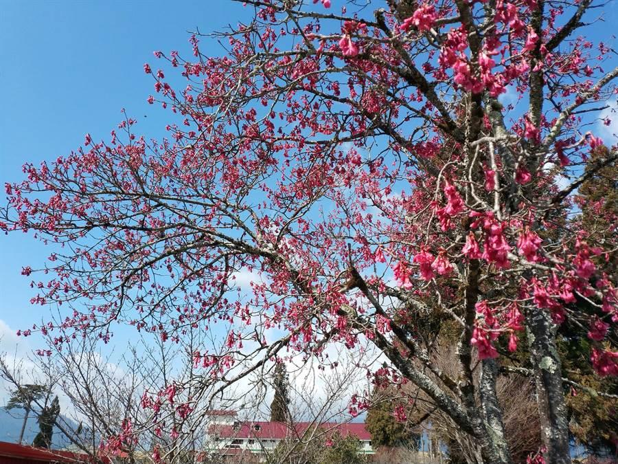 福壽山農場櫻花季收連續低溫影響,僅山櫻花盛開,其餘品種宣告「遲到」。(福壽山農場提供/王文吉台中傳真)