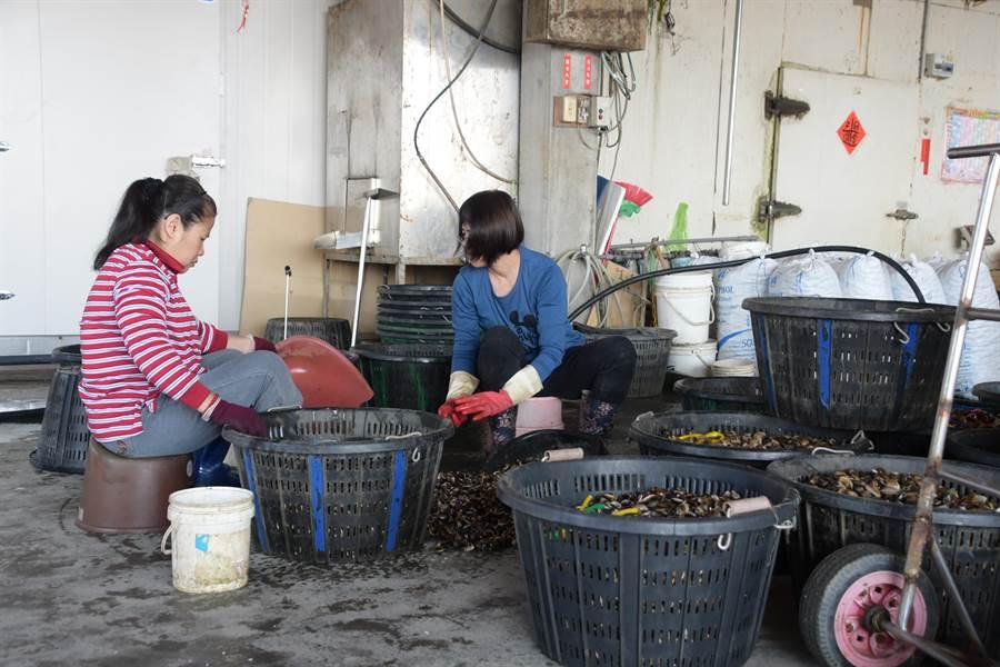 彰化縣芳苑鄉漢寶村養殖文蛤面積約406公頃,由於養殖技術提升,粒粒鮮美飽滿,今年銷日量還提升2.5倍。(謝瓊雲攝)