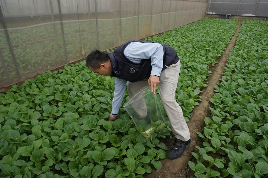 新北果菜公司協助農友透過各種通路銷售蔬菜,不致受延後開學影響。(新北市果菜公司提供/王揚傑新北傳真)
