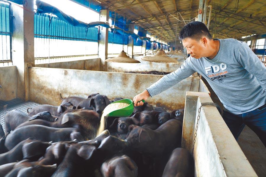 受到新冠肺炎影響,昨日國內毛豬價格交易價格每公斤再度跌破60元,創10多年來新低,預定5月外銷新加坡的計畫也延宕,農委會決啟動母豬淘汰作業因應。(本報資料照片)