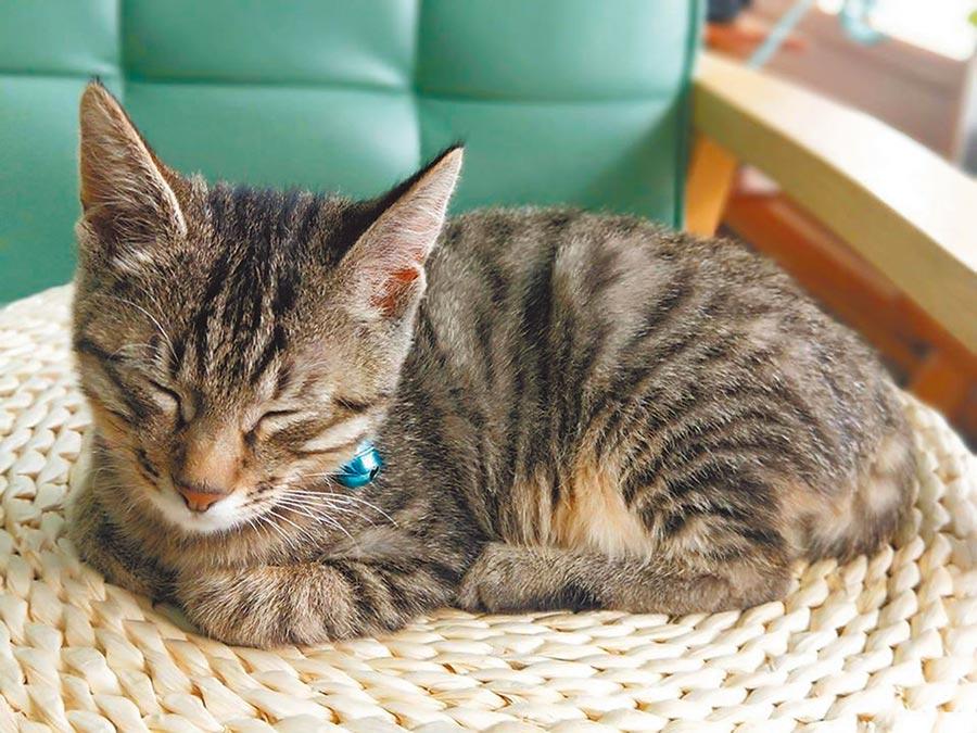 台東簡單小日子民宿撿到的小花貓竟是中國貍花貓。(楊漢聲攝)