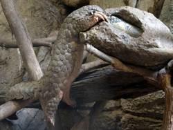 周六「世界穿山甲日」!來動物園闖關 學保育護生態