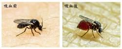 小黑蚊解密 慈大揭開生殖「黑盒子」