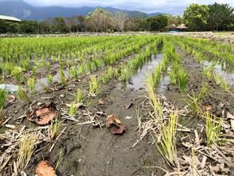 台東》冰火五重天 水稻秧苗枯死