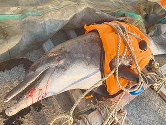 阿嬤級海豚 擱淺大甲海堤亡