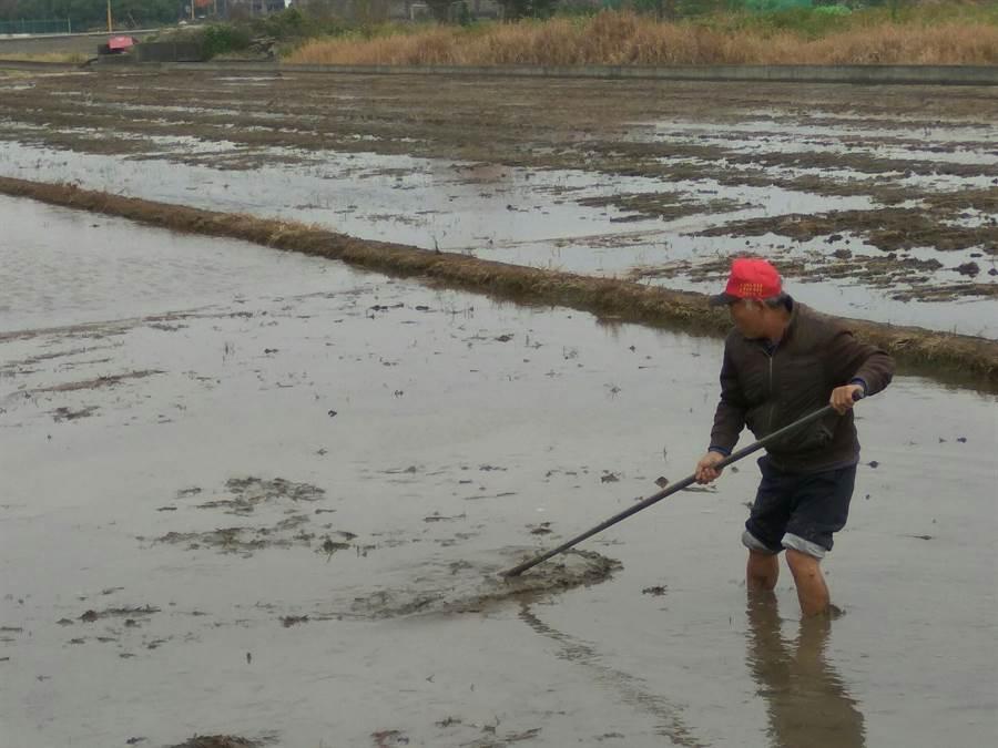 農民整地準備一期稻作春耕。(許素惠攝)