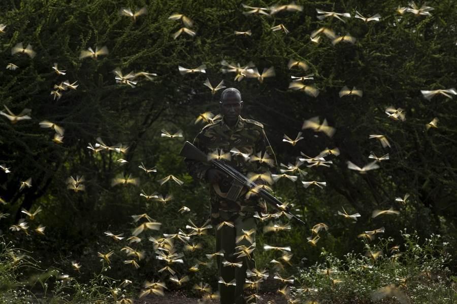 位於東非的衣索比亞南部、肯亞部分地區正遭受蝗災入侵,蝗蟲數量龐大數十年僅見。圖為2月1日肯亞護林員遭蝗蟲包圍。(圖/路透)