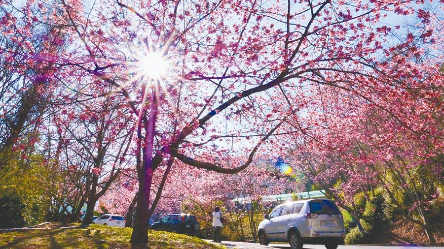 2月13日,疫情恐慌心理衝擊民眾搭乘長途客運意願,武陵農場櫻花季團客銳減。(武陵農場提供)