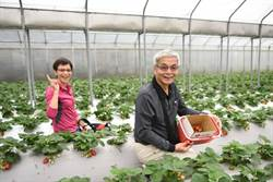 內湖草莓季開跑 親子DIY甜美時光