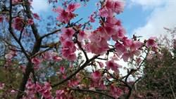 漫步新店賞櫻趣 綻放朵朵幸福感