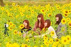 台開心農場採向日葵