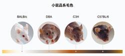 實驗鼠≠白老鼠 控制基因毛色任選
