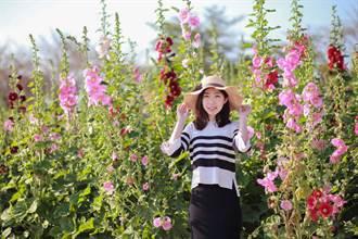 春遊台南增健康!學甲蜀葵花比人高、白河木棉花好火紅
