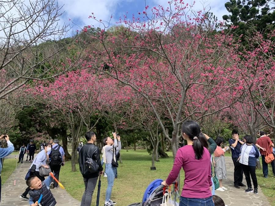 台北市陽明山花季15日開幕。(張薷攝)
