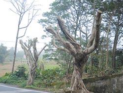 大享街路樹 整排斷頭超驚悚