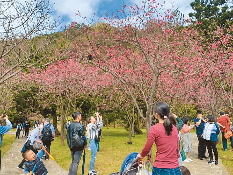 北市陽明山花季開幕,正逢台灣山櫻花和八重櫻盛開,現場一片粉嫩,人潮湧現。(張薷攝)