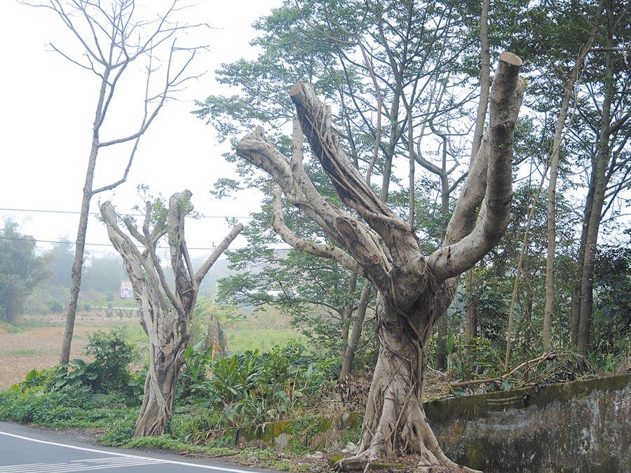 中壢區大享街約有50棵樹木遭斷頭式修剪,失去樹冠的樹木看起來像枯槁的手指。(邱立雅攝)