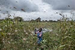 東非蝗災肆虐 你必須知道的5件事