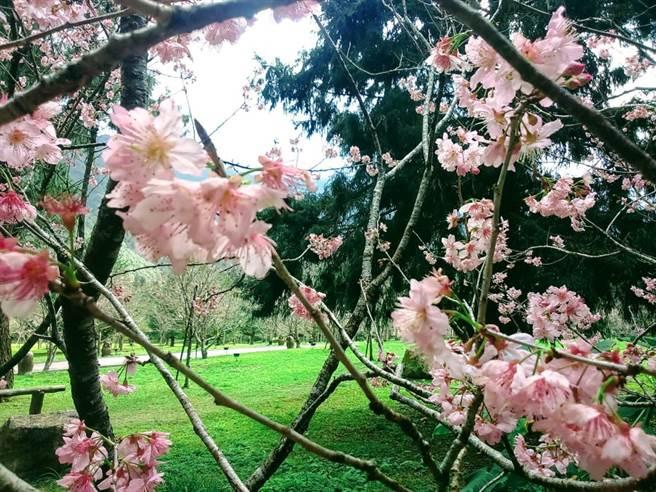 2020年的九族櫻花祭已經邁入第20屆,園區內種有5000株櫻花,粉粉嫩嫩,美不勝收!