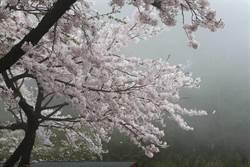 阿里山花季3月登場 每日管制1.6萬人