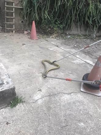 黑腹錦蛇闖養雞場偷蛋  與警激戰20分鐘被逮