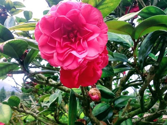 晶園休閒渡假村也有規劃戶外設宴,欣賞美麗大朵的山茶花。