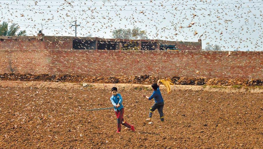 2月15日,巴基斯坦兒童在田地驅趕蝗蟲。(新華社)