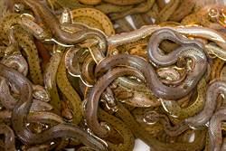 路旁驚見枕頭套狂動 掀開滑出16條蟒蛇