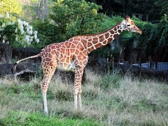 奇!長頸鹿長得高 睡眠時間竟是哺乳類動物中最少