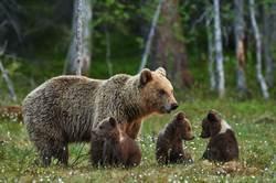 攝影師拍3隻小熊玩耍 網細看勸快逃