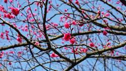 三芝賞花!4公里櫻花步道飄桃紅、杜鵑花爭豔比美
